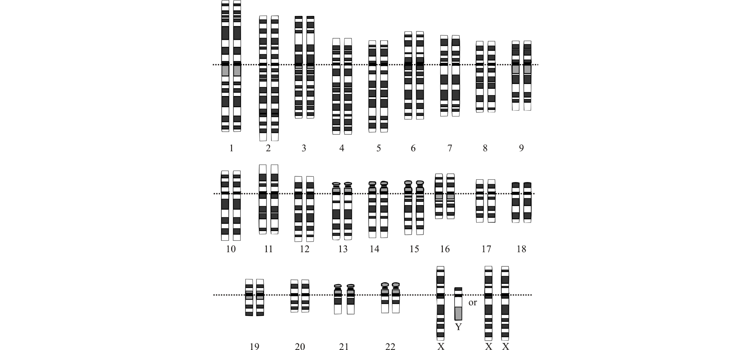The idealized human diploid karyotype showing the organization of the genome into chromosomes||extensions-genomics-diagram